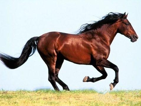 高清野马动物图片